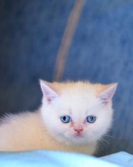 Safkan British Shorthair Red Point Yavrular